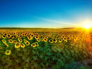 Sunflower Wallpaper by free wallpapers (18)