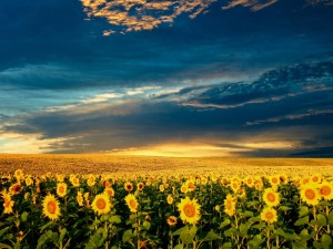 sunflower-wallpaper-1