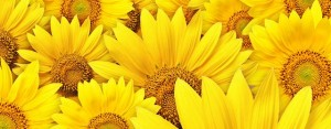 wallpaper-sunflower-photo-tn