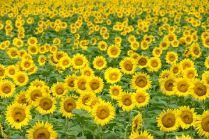 sunflower_spt01_pht02